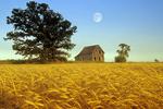 old farm house/wheat field near Beausejour, Manitoba, Canada