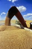 spring wheat harvest , Canadian Prairies, Tiger Hills, Manitoba