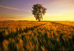 barley field with cottonwood tree
