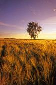 barley field with cottonwood tree