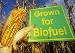 corn grown for biofuel