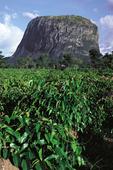 yam field and rock formation near Bida, Nigeria, West Africa