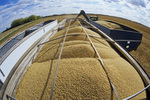 a grain wagon unloads soybeans into a farm truck during harvest, Niverville, Manitoba, Canada