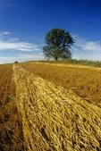 spring wheat field , near Bruxelles, Manitoba, Canada