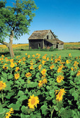 sunflower field, old house, Beausejour, Manitoba, Canada