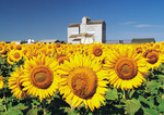sunflower field with grain elevator in the background, St. Agathe, Manitoba, Canada