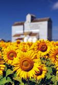 sunflowers and grain elevator, near St. Agathe, Manitoba, Canada