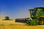 two a combine harvesters work a field of winter wheat,  near Nesbitt, Manitoba, Canada