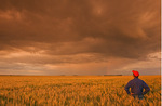 a man looks out over a field of maturing wheat with storm clouds in the background, near Virden, Manitoba, Canada