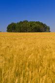 maturing wind-blown spring wheat  crop with aspen trees in the background, near Manor, Saskatchewan, Canada