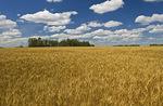 mature grain field and sky with cumulus clouds, near Manor, Saskatchewan Canada
