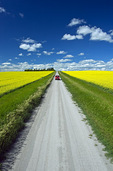 a truck on a country road with blooming canola fields,  Tiger Hills, Manitoba, Canada