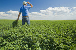 a man looks out over a mid-growth chickpea field near Kincaid,  Saskatchewan, Canada