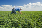 farmer examining a mid-growth chickpea field near Kincaid,  Saskatchewan, Canada