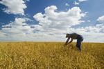 a man in a mature, harvest ready dry pea field near Kincaid, Saskatchewan, Canada