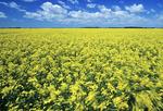 bloom stage canola field, Manitoba, Canada