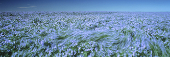 wide angle view of a flowering flax field near Somerset, Manitoba, Canada