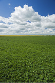 mid-growth soybean fieldand sky filled with cumulus clouds near Dugald, Manitoba, Canada