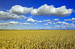 a field of feed/grain corn stretches to the horizon, with a sky filled with cumulus clouds in the background, near Dufresne, Manitoba, Canada