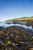kelp bed, basalt rock cliffs, Brier Island, Bay of Fundy, Nova Scotia, Canada