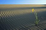 prairie sunflowers, Spirit Sands, Spruce Woods Provincial Park, Manitoba, Canada