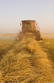 a combine harvesters works a field of swathed spring wheat,  near Dugald, Manitoba, Canada