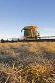 a combine harvester straight cuts a mature standing field of canola during the harvest, near Lortte, Manitoba, Canada