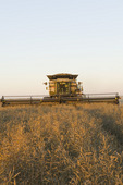 a combine harvester straight cuts in a  mature standing field of canola during the harvest, near Lortte, Manitoba, Canada