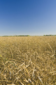 a field of harvest ready canola which will be straight cut,  near Lorette, Manitoba, Canada
