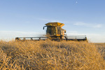 a combine harvester straight cuts in a  mature standing field of canola during the harvest, near Brunkild, Manitoba, Canada