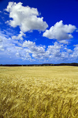 maturing barley crop and sky with cumulus clouds, Tiger Hills, Manitoba, Canada