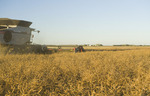 a combine harvester straight cuts in a  mature standing field of canola during the harvest, near Lorette, Manitoba, Canada