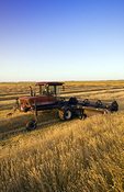 a swather cuts and windrows spring wheat neat Lorette, Manitoba, Canada