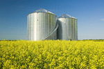 a field of bloom stage canola with grain bins(silos) in the background,  Saskatchewan, Canada