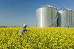 a man scouts a field of bloom stage canola with grain bins(silos) in the background,  near Somerset, Manitoba, Canada