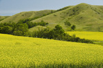 bloom stage canola and eroded hills,  Qu´Appelle  River Valley,  Saskatchewan, Canada