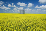 a field of bloom stage canola with old grain bin(silo) in the background,  near Grenfell, Saskatchewan, Canada