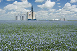 flax in front of an inland grain terminal, Grenfell, Saskatchewan, Canada