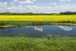 prairie slough with canola growing in the background, near Grenfell, Saskatchewan, Canada