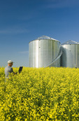 a man uses a computer in a field of bloom stage canola with grain bins(silos) in the background,  near Somerset, Manitoba, Canada