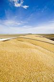 view from the back of afarm truck during the durum wheat harvest, near Ponteix, Saskatchewan, Canada