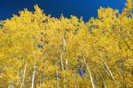 autumn colours on aspen trees, Duck Mountain Provincial Park, Manitoba, Canada
