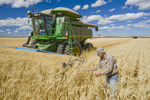 farmer  in front of his combine examines the crop during the durum wheat harvest, near Ponteix, Saskatchewan, Canada