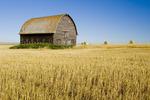 old barn and harvested durum wheat field near Ponteix, Saskatchewan, Canada