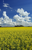 bloom stage canola field with cumulus and developing cumulonimbusclouds in the background, near Kisbey, Saskatchewan, Canada