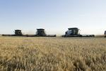 winter wheat harvest near Lorette, Manitoba, Canada