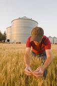 a farmer examines spring wheat, grain bins in the background, near Dugald, Manitoba, Canada