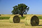 hay rollsand tree near Estevan, Saskatchewan, Canada