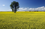 canola field with cottonwood tree and farm yard  in the background,near Dugald, Manitoba, Canada