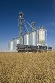 a farm unloads wheat at a farmer's inland grain terminal, mature harvest ready canola in the foreground